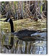 Great Swamp Goose  Acrylic Print