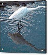 Great White Egret Acrylic Print