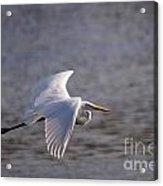 Great White Egret Flight Series - 1 Acrylic Print