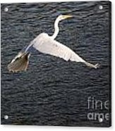 Great White Egret Flight Series - 10 Acrylic Print