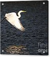 Great White Egret Flight Series - 11 Acrylic Print
