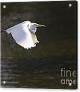 Great White Egret Flight Series - 3 Acrylic Print