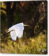 Great White Egret Flight Series - 5 Acrylic Print