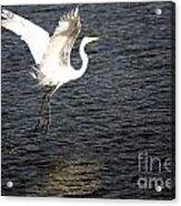 Great White Egret Flight Series - 9 Acrylic Print