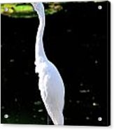 Great White Egret Singing In The Morning Light Acrylic Print