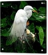 Great White Egret With Breeding Plumage Acrylic Print