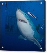 Great White Shark And Pilot Fish Acrylic Print