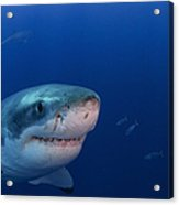 Great White Shark, Guadalupe Island Acrylic Print