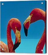 Greater Flamingo Courting Pair Acrylic Print