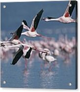 Greater Flamingos In Flight Over Lake Acrylic Print
