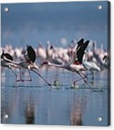 Greater Flamingos Run Through Shallow Acrylic Print