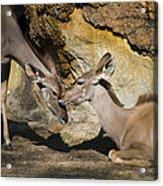 Greater Kudu Affection Acrylic Print
