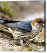 Greater Striped Swallow Acrylic Print by Peter Chadwick