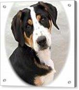 Greater Swiss Mountain Dog 1255 Acrylic Print