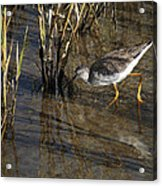 Greater Yellowlegs At Spi Acrylic Print