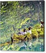 Grebe Podicipedidae Birds Sitting On A Acrylic Print by Richard Wear