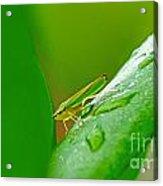 Green And Yellow Bug Acrylic Print