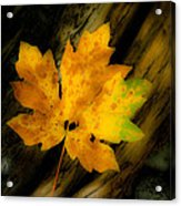 Green And Yellow Maple Leaf In Soft Focus Rests On A Log. Acrylic Print
