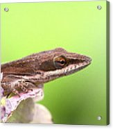 Green Anole In Pastels Acrylic Print