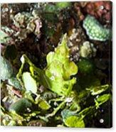 Green Arrowhead Crab, Papua New Guinea Acrylic Print