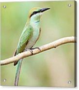 Green Bee-eater (merops Orientalis) Acrylic Print