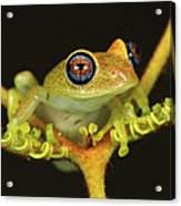 Green Bright-eyed Frog Boophis Viridis Acrylic Print