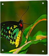 Green Butterfly Acrylic Print