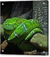 Green Coiled Snake Acrylic Print