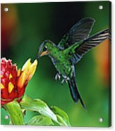 Green Crowned Brilliant Hummingbird Acrylic Print