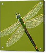 Green Darner Acrylic Print