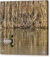 Green Drake Reflections Acrylic Print