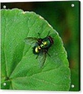 Green Fly Acrylic Print
