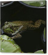 Green Frog And Lily Pads 9613 Acrylic Print