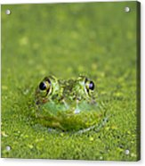 Green Frog Eyes Acrylic Print