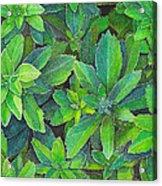 Green Gold Acrylic Print by Yvonne Scott