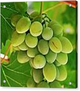 Green Grape And Vine Leaves Acrylic Print by Sami Sarkis
