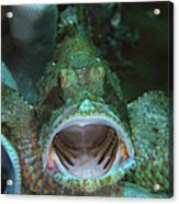 Green Grouper With Open Mouth, North Acrylic Print
