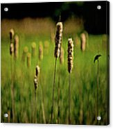 Green Grow The Rushes O Acrylic Print