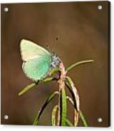 Green Hairstreak Acrylic Print