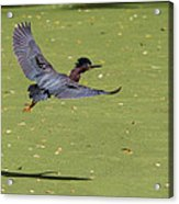 Green Heron In Flight Acrylic Print