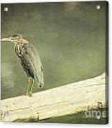 Green Heron On A Log Acrylic Print