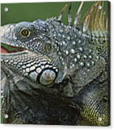 Green Iguana Barro Colorado Island Acrylic Print