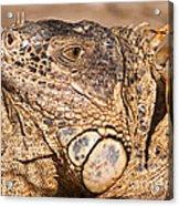 Green Iguana Acrylic Print