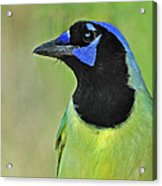 Green Jay Portrait Acrylic Print