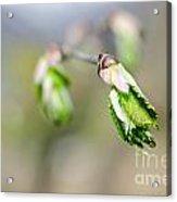 Green Leaf In Spring Acrylic Print