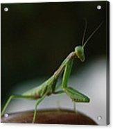 Green Mantis Acrylic Print