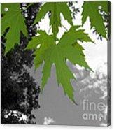 Green Maple Leaves Acrylic Print