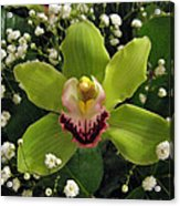 Green Orchid In Baby's Breath Acrylic Print