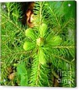 Green Pine Needles 2 Acrylic Print