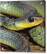 Green Racer Chironius Exoletus Acrylic Print